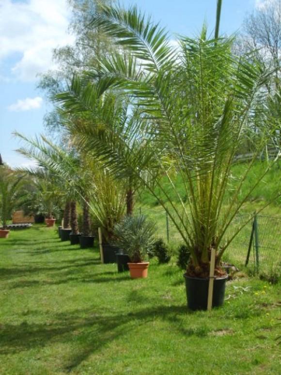 palmen hanfpalmen fiederpalmen palmenarten bambus winterhart frosthbest ndig freiland. Black Bedroom Furniture Sets. Home Design Ideas