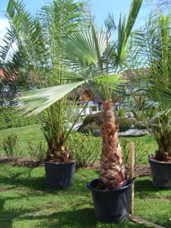 palmen hanfpalmen fiederpalmen palmenarten bambus. Black Bedroom Furniture Sets. Home Design Ideas